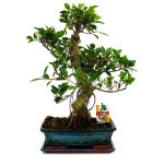 Chin. Fig trees - Ficus