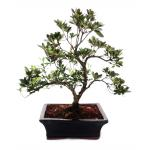Outdoor-Bonsai