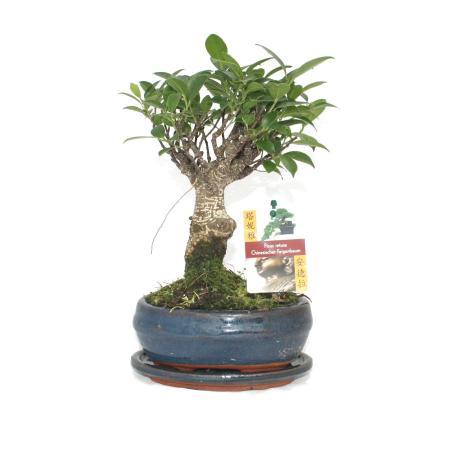 Bonsai Chinese fig tree - Ficus retusa - 6 years - spherical shape