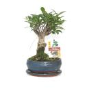 Bonsai Chinese fig tree - Ficus retusa - 6 years -...