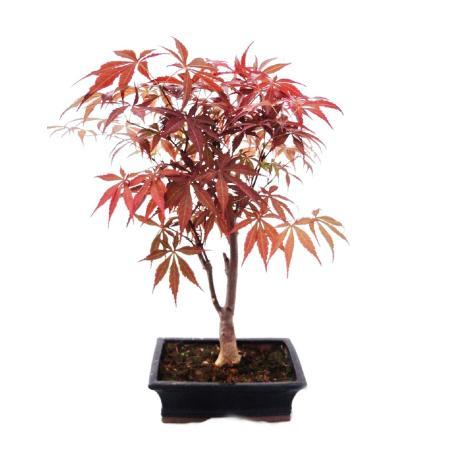 Bonsai - Japanese Maple,  Acer palmatum, 20cm pot