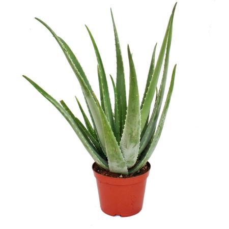 Aloe Vera - ca. 7-8 Jahre alt - 21cm Topf, riesige und sehr alte Pflanze