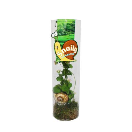 Snaily - Die Schneckenhauspflanze - Dischidia pectenoides - im Acrylglas-Zylinder