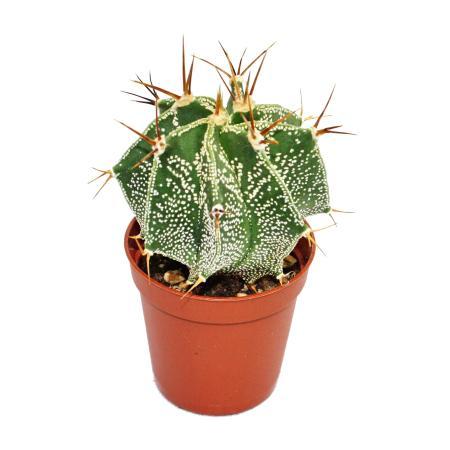 Astrophytum ornatum - Bischofsmütze - im 8,5cm Topf