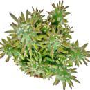 Austrocylindropuntia subulata - in 8,5 cm pot