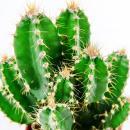 Cereus floridianus - Green fingers - in 8,5 cm pot