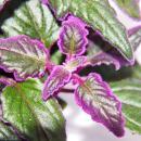 Gynura Purple Passion - Velvet-Leaf - Purple Plant - 12cm pot