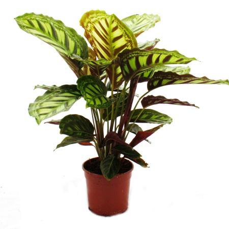 Shadowplant with unusual leafpatterns - Calathea roseapicta - 14cm pot -  45-50cm tall