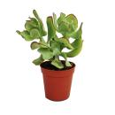 Crassula arborescens - medium size plant in 8.5 inch pot