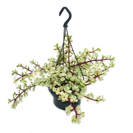 Portulacaria afra var.  - Dwarf Jade Plant - Hanging Pot 14cm
