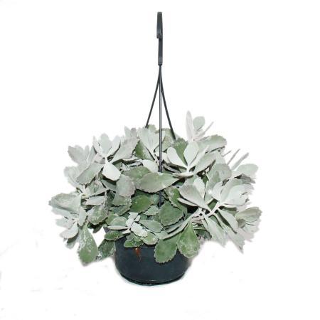 Rarit ten ausgefallene zimmerpflanzen seite 4 for Ausgefallene zimmerpflanzen