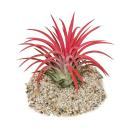 "Tillandsia ionantha ""Fire"" - intense red color"