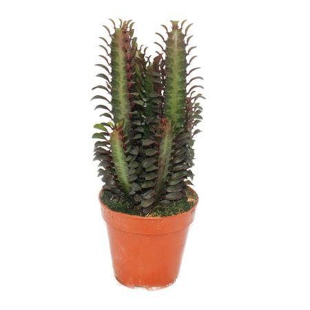 Euphorbia trigona rubra - mittelgrosse Pflanze im 12cm Topf