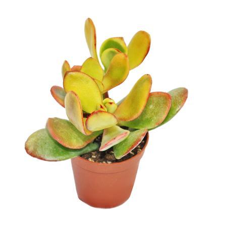 """Crassula portulacea """"Sunset"""" - mittelgrosse Pflanze im 8,5cm Top"""
