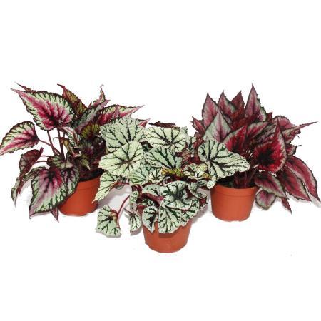 "Mix of ornamental-leaved begonias ""Botanica"" - 3 plants - 12cm pot"