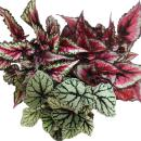 """Blattbegonien-Mix """"Botanica"""" - 3 Pflanzen -..."""