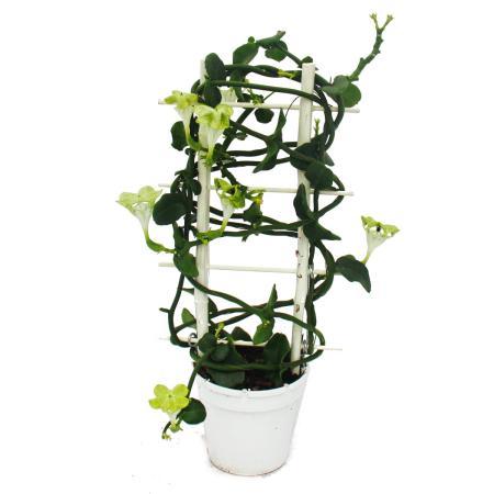 Climbing Fountain Flower - Ceropegia Sandersonii - 12cm pot