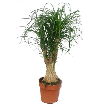 Elephant Foot - Branched - Room Plant - approx. 60cm