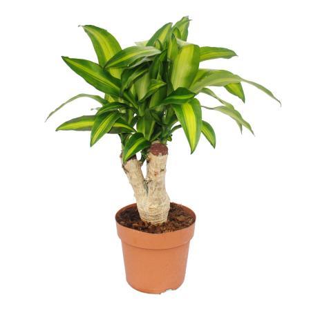 Dragon Lilly - Dracaena Massangeana - approx. 60cm tall - 20cm pot - branched