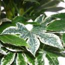 Zimmeraralie - Fatsia japonica var. - ca. 60-80cm hoch - 20cm Topf