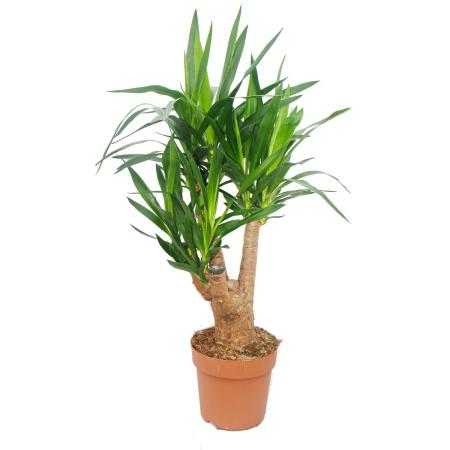 Yucca Palme - Palmlilie - verzweigter Stamm - ca. 60cm hoch