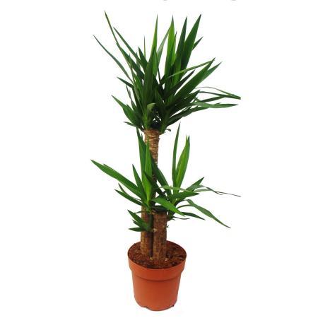 Yucca Palme - Palmlilie - 2 runde Stämme - ca. 80cm hoch