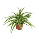 Chlorophytum - Green lily - 9cm pot - Indoorplant