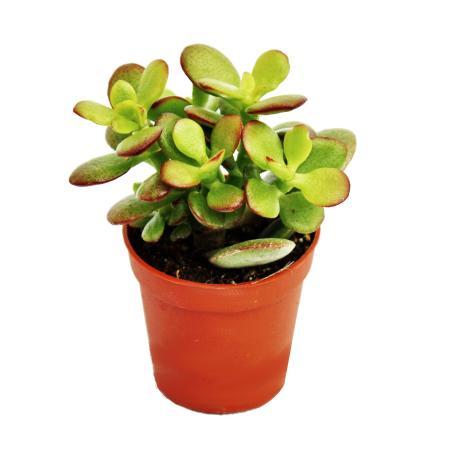 Crassula portulacea minor - Pfennigbaum - im 8,5cm Topf