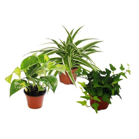 Climbing Plants Set of 3 indoor plants - 9cm