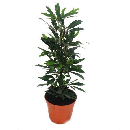 Finger Arallia  - green - Dizygotheca - 9cm pot