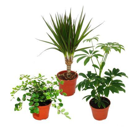 Zimmerpflanzen Set mit 3 Pflanzen - Typ 2 - 9cm