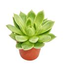 Echeveria agavoides - medium size plant in 8.5 inch pot