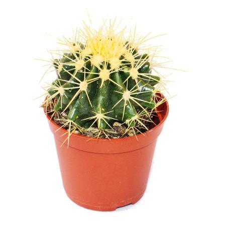 Echinocactus grusonii - Schwiegermutterstuhl - in 8,5 cm pot