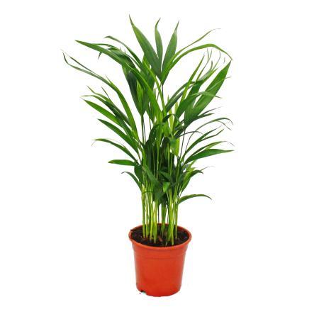 Gold fruit palm, Areca lutescens, ca. 50-60cm, room palm, 17cm pot