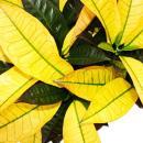 Croton - Croton Var.  - 20cm pot  - 50-60cm tall