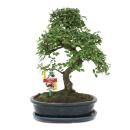 Bonsai Chinese elm - Ulmus parviflora - 10 years