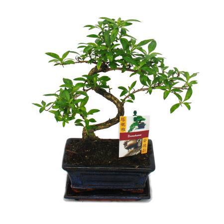 Bonsai - Serissa - Junischnee - tree of the 1000 stars - about 8 years