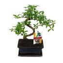 Bonsai - Serissa - Junischnee - tree of the 1000 stars -...