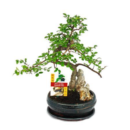 Bonsai Chinese elm - Ulmus parviflora - rocky landscape - approx. 8 years