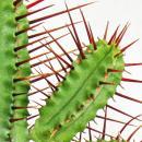 Euphorbia enopla - mittelgrosse Pflanze im 8,5cm Topf