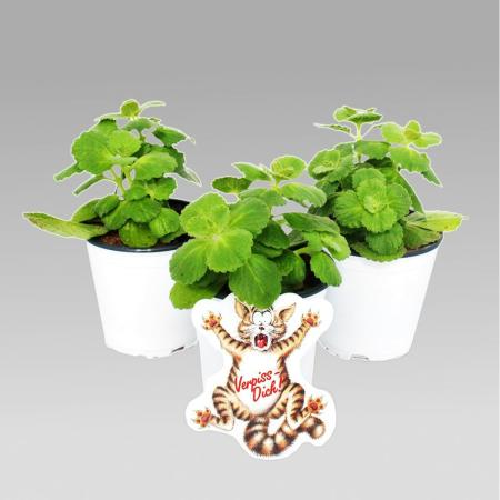 Coleus canin - Scardy Cat Plant - Set of 4 Pflants