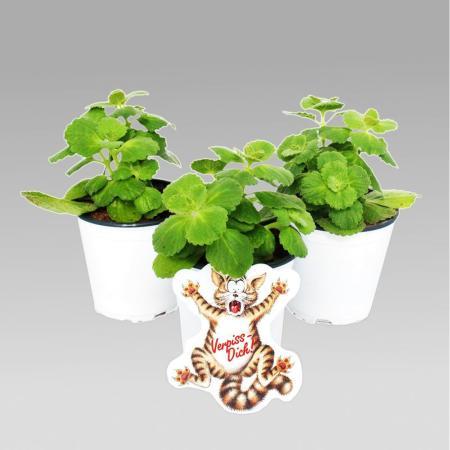Coleus canin - Verpiss-Dich - Pflanze - 8 Pflanzen