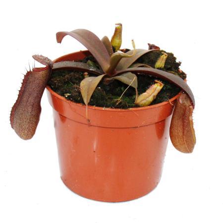 Rotblättrige Kannenpflanze - Nepenthes - 9cm