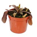 Pitcher plant with red foliage - Nepenthes - 9cm