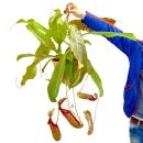 Giant Pitcher Plant - Nepenthes maxima - hanging pot