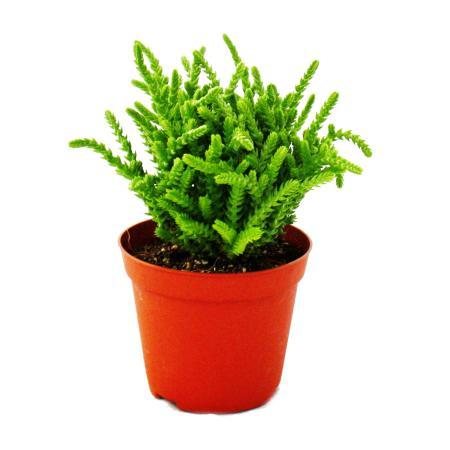 Succulent plant - Crassula lycopodioides - mouse tail - in 8,5cm pot