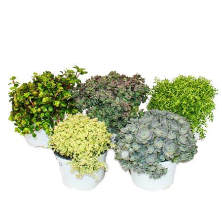 5 verschiedene Winterharte Sedum-Pflanzen - Fetthenne - abwechslungsreiches Farbspiel
