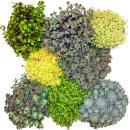 8 winterhardy sedum plants - varied color play 10,5cm pot