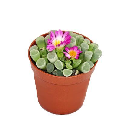 Frithia pulchra - Windows Journal - in 10,5 cm pot