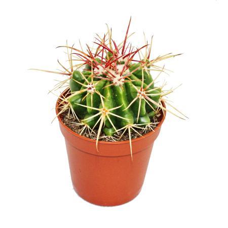 Ferocactus stainesii - medium size plant in 8.5 inch pot